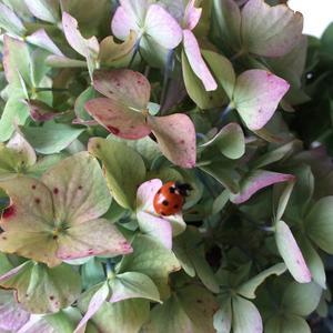 Tog in några Hortensiablommor och fick syn på nyckelpigan.