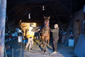 Tony Strömstedt och sonen Jerry har travintresset gemensamt. Här förbereder de hästen Expendables för en träningsrunda.
