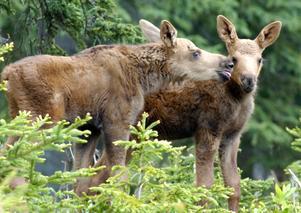 Vilda djur skadas av skräp i naturen, precis som tama djur. Foto: MM