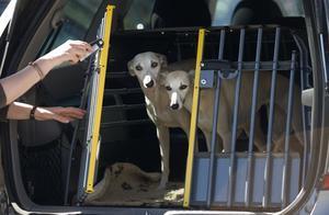 Whippethundarna sitter säkert i en hundbur, men värmen som stiger oerhört fort i en bil är det svårt att skydda sig mot.