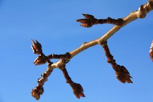 8 mars, den första riktiga vårdagen med sol och dagsmeja då poppelns knoppar brister.