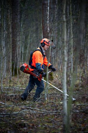 Innan de stora träden ska tas ned med skogsmaskin gallras sly och busk bort för hand. Ett arbete som utförs av Mellanskogs Henrik Östman.