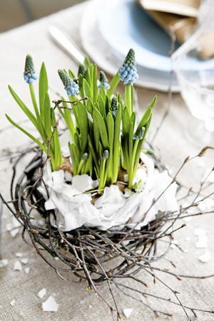 Bildtext 3: Vårens första lökväxter i kruka är fina på påskbordet. En pärlhyacint dekorerad med björkris och krossat äggskal är en enkel och billig, men ändå vacker bordsdekoration. Foto: Anna Lefvert