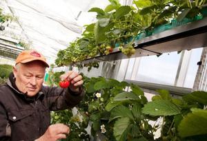 """""""I år är det här främst ett försök för att vi ska lära oss vilken näring och vilken plantsort som passar bäst, men på sikt, om det håller ekonomiskt är tanken att vi ska kunna sälja tidiga bär till butik"""", säger Jan Moberg.De första mogna bären är lite mer oregelbundna i formen. Det beror på att växthuset inte har insekter och att de har fått gå runt och sköta pollineringen själva."""