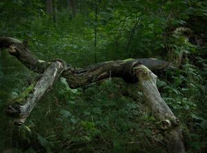 Vid en vandring i skogen öster om Strömsholms Slott en ljus sommarkväll mötte jag detta urtidsdjur. Det har en smal kropp, långa ben, ett långsmalt ansikte med ett plirande öga samt två stora näsborrar. Åtminstone om man har lite fantasi ...