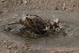 Så kom värmen till sist och även vi småfåglar gillar att ta oss ett dopp även om vi får hålla till godo med en liten pöl!!