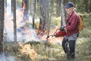 Entomologen Lasse Vikars berättar att några av träden dör av bränningen. Då öppnas skogen upp och solstrålarna når större del av marken.