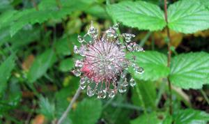 En morgon efter regnet skapade ett utblommat humleblomster detta vackra vattensmycke.