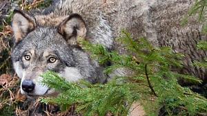 Bilden visar en varg i fångenskap.