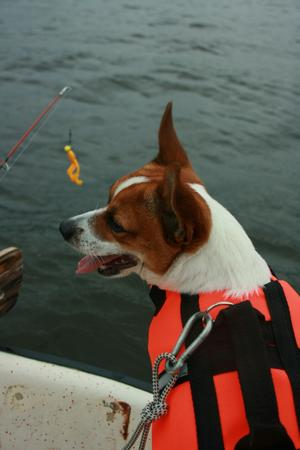 Dotterns lilla Jack russel kille Poof tycker det är jättespännande att följa med i båten på fisketur. Synd bara att husse kastar dragen så långt...