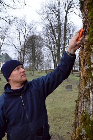Angrepp. Barken och veden på den här almen är dålig och riskerar att få almsjuka. Kyrkvaktmästare Jörgen Carlsson visar.