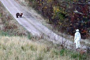 Respektfullt möte. Björnen och kvinnan möttes på en grusväg norr om Järbo. Där stod de och betraktade varandra en bra stund innan björnen vek undan med blicken och lufsade in i skogen.