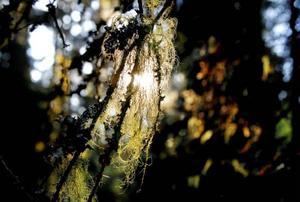 Många gamla träd draperas av olika typer av hänglavar.
