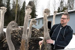 Niklas Persson med några strutsar.