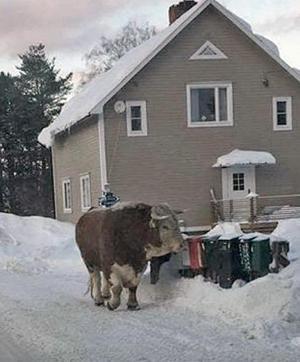 Tjuren har sprungit lös bland villor och även utanför skolan på den aktuella platsen. Bild: Privat
