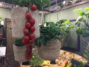 Ampeltomater är ett yteffektivt sätt att odla ätbart på liten yta.