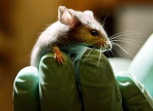 """En mus hör hemma i naturen inte i Öbos lägenheter, skriver """"Öboboende"""". Han får svar från Öbos Erika Johansson. Foto: ROBERT F. BUKATY/TT"""