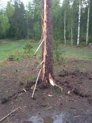 Blixten slog ned i ett träd i Säter. Foto: Sveneric Haglund