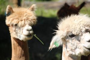 Två nyfriserade alpackor ses mumsa på gräs och tittar nyfiket på något som händer en bit bort.