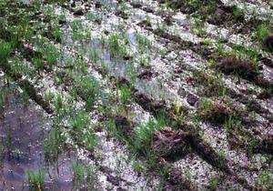 Kyla och för mycket regn kan påverka skörden negativt. 1998 var ett sådant år för många bönder. Bild: Anders Lidén
