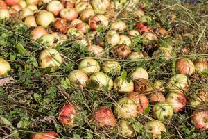 Den som vill slänga sina äpplen i naturen orsakar risk för viltolyckor om frukten hamnar nära trafikerade vägar. Här ligger en hög på vägen mot Rottneby, nära E16.