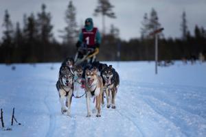 Vinnaren Malin Strid från Jämtlandsfjällens slädhundsklubb, under kvällskörning, innan hon tog guldet i långdistanstävlingen 350 kilometer. Foto: Martin Wagenius