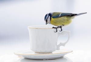Får det vara påtår? Nej, men några jordnötter var det som lockade pippin till kaffekoppen... Bild: Fredrik Findal