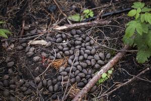 Här och där i området finns spår av älg, vilka nu börjar få gott om foder i form av lövuppslag.