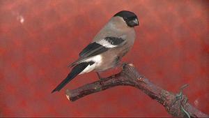 Domherre, hona:(Pyrrhu´la pyrrhu´la) Art i fågelfamiljen finkar. Den blir 16 centimeter lång, har svart och grå översida och vit övergump; hanen är vackert röd på undersidan medan honan är gråbrun där. Den häckar i djupa barrskogar och är då svår att komma in på livet. På vintern är den en välkommen och ofta sedd gäst på fågelborden. Den livnär sig av bär, knoppar och frön.