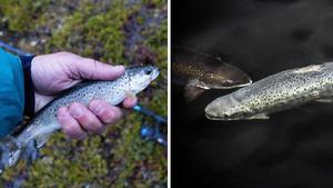 Öring och lax i mindre vattendrag kan vara särskilt drabbade.