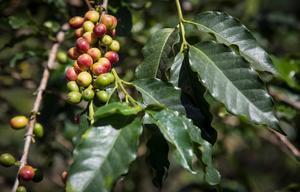 Kaffebönor mognar i Uganda. Bild: Helena Landstedt/TT