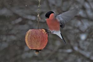 Den vackra Domherre har återvänt från skogen till fågelmatningen, vilket visar att vinter är på ingång. Foto: Bernhard Randehall