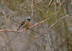 Bofinkarna sjunger och våren är på gång - dags att vara lite positiv, tycker skribenten.