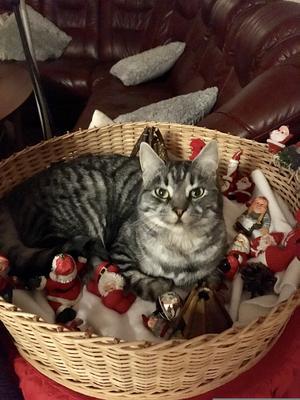 485) MissLi är en busig katt som älskar att ligga mitt uppe i Tomtelandet Foto: Monica Olsson