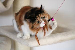 317) Inez, 18 mån. Sibirisk katt  Foto: Inga-Lill Kling