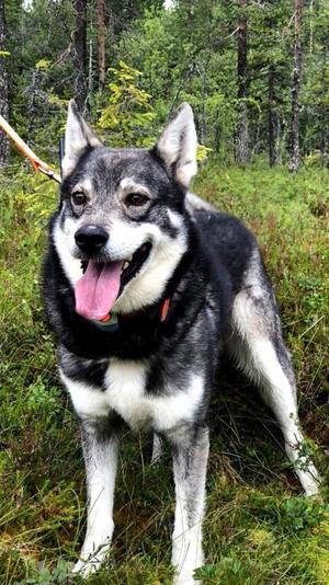 Hunden Tyr blev ihjälbiten av en varg.
