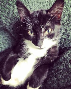 451) Katten heter Pelle (Svanslös) då han endast har en stump till svans.Följer våran dotter Nellie vart hon än går och även matte LeenaÄr otroligt sällskapssjuk. Foto: Jocke Brunner-Palm