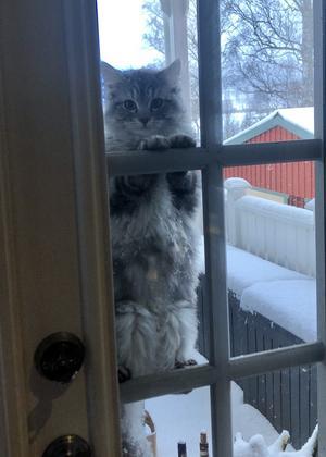 217) Yoonie är en kattunge som har hittat sitt eget sätt att berätta att hon vill in i värmen, klättrande på spröjsen på vår altandörr och stirra på oss. Foto: Astrid Rodin