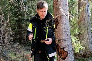 Emil Hjerpe, skogskonsulent vid Skogsstyrelsens Sörmland/Örebro-distrikt, granskar barken på en skadad gran. Han uppmanar skogsägare att vara extra uppmärksamma på spår av barkmjöl vid stambasen på granar eller plötsliga fällningar av gröna barr.