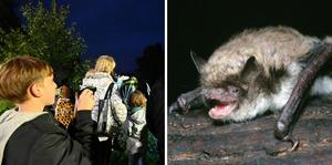 På fredag kväll hålls falddermus-safari i Skara. Foto: Jenny Barck/Milos Andera