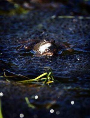 Hundratals grodor har även i år samlats i Grodtjärn, Sidsjön. Parning pågår för fullt några få dagar varje vår och många Sundsvallsbor passar på att besöka platsen för att beskåda ett av naturens häftiga skådespel. Grodorna har full fokus på varandra och bryr sig inte det minsta om publiktillströmningen.