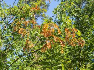 En riktig höstkänsla ger rönnen med sina röda och gula blad.