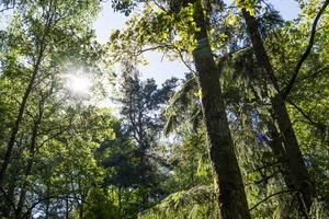 Träd i en skog Foto: Lars Pehrson / SvD / TT /