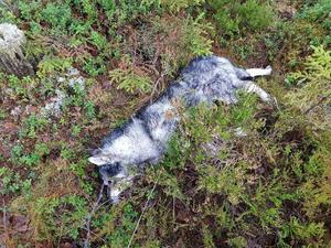 9 december bets jämthunden Brolle ihjäl av vargar. Bild: Privat