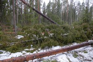 Många träd föll under stormen Alfrida, på väg till Storsten har träd som fallit över vägen sågats av och flyttats så att det går att komma fram. Så här såg det ut vid Sikhjälma fiskehamn, väster om Hållnäs.