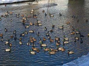 Änderna i Östra kanalen kommer inte att bli matade av kommunen denna vinter heller.
