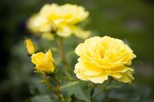 Underbart doftande, guldgula Friesia. Rosornas tid är nu.