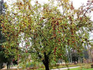 Ett Paradisäppelträd i full mognad Harmånger