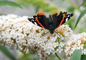 Utvalt. En av många amiralfjärilar som kalasar på syrénbuddlejan.