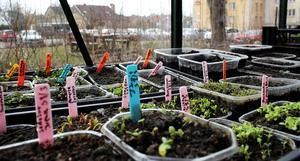 Grönsaker på väg upp i Farbror Gröns växthus.